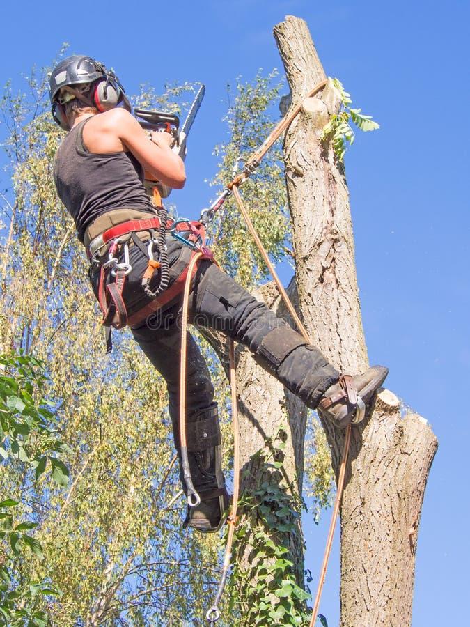 Tree surgeon working up a tree stock image