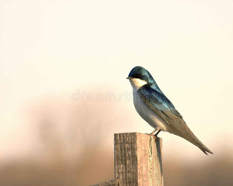 Tree Swallow 1 stock images