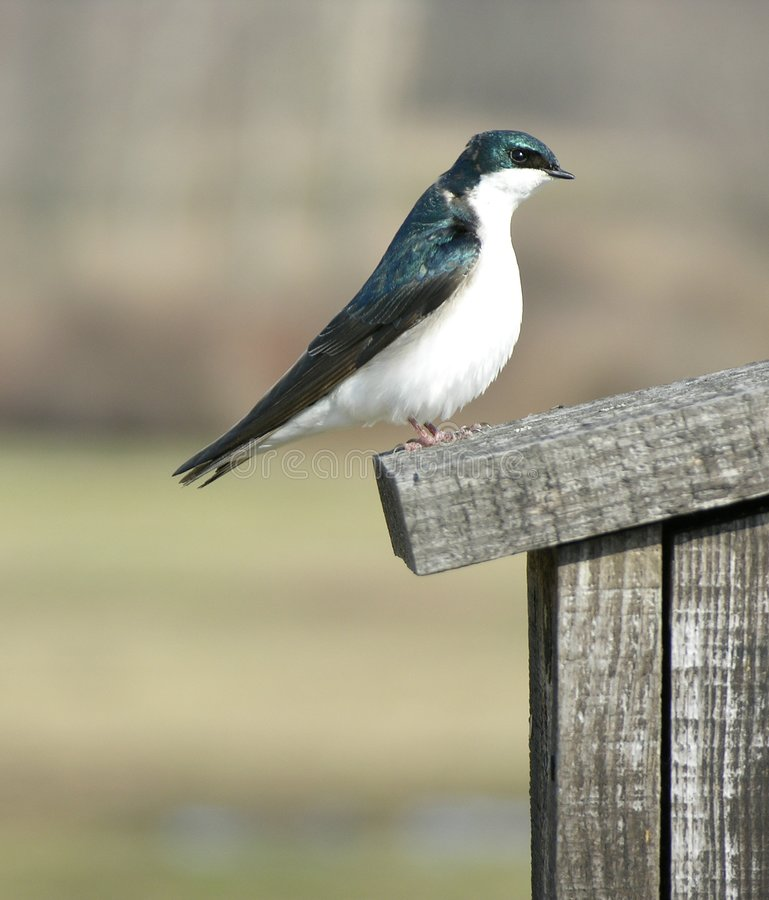 Tree Swallow 2 royalty free stock photo