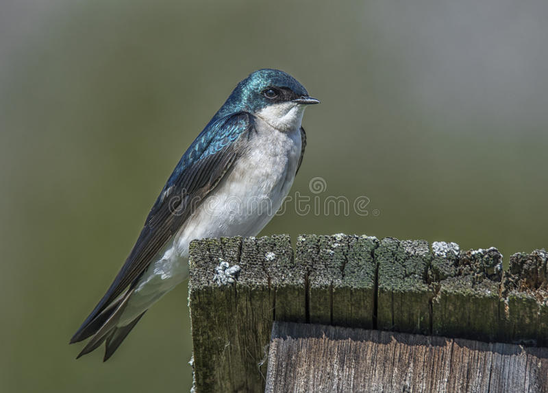 Tree Swallow. A beautiful Tree Swallow rests on its nest box as its setting up housing to raise a family stock image