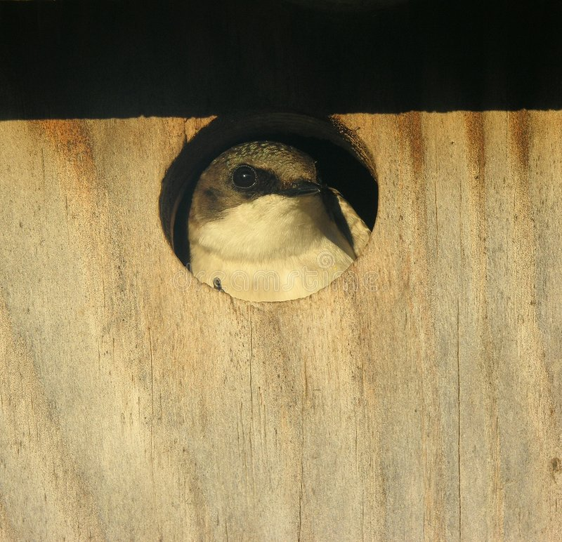 Tree Swallow Chick 2 stock photos