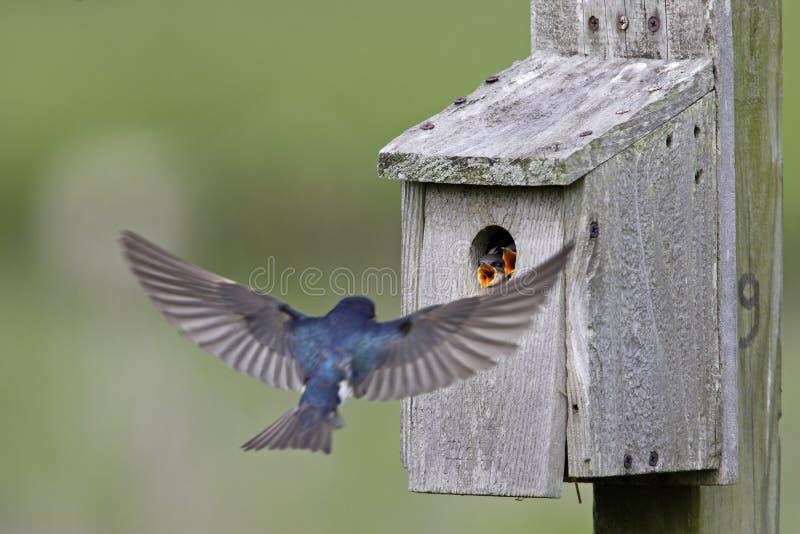 Tree Swallow feeding juveniles stock photography
