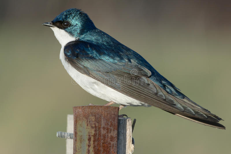 Tree Swallow. Female Tree Swallow perched on a fence post stock images