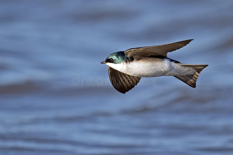 Tree Swallow in Flight. A tree swallow in flight over the water stock photo