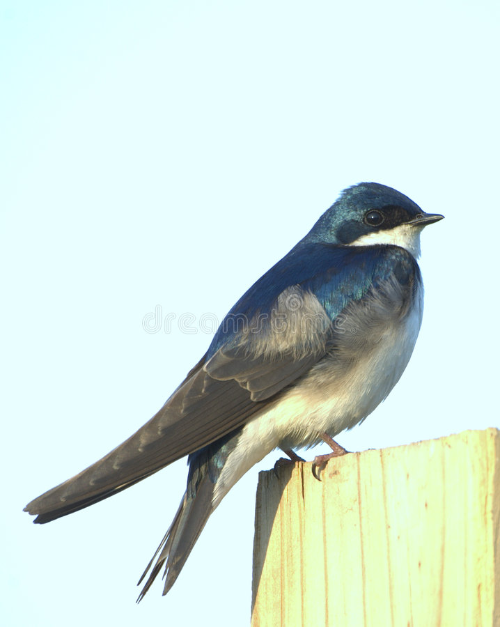 Tree Swallow (Iridoprocne bico stock photos