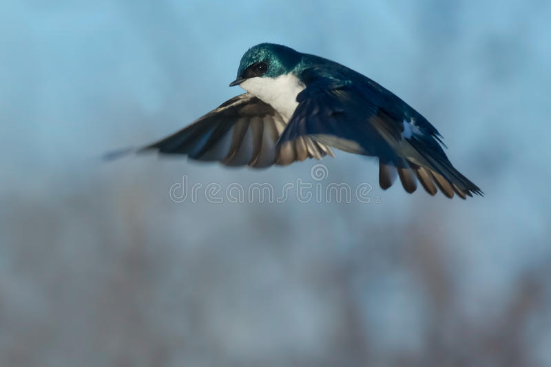 Tree Swallow. Male Tree Swallow hovering in mid air stock images