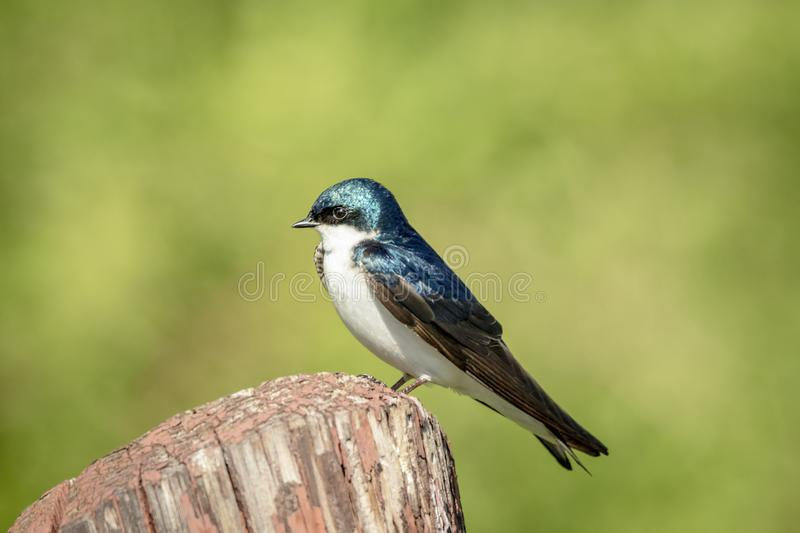 Tree Swallow in Millbrook, NY royalty free stock photos