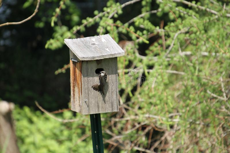 A tree swallow perched just outside the entrance of a bird house. Looking to the side stock photo