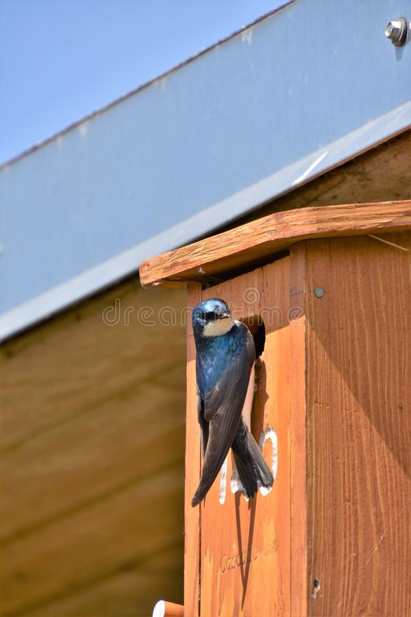Tree swallow is perching on the bird house. stock image