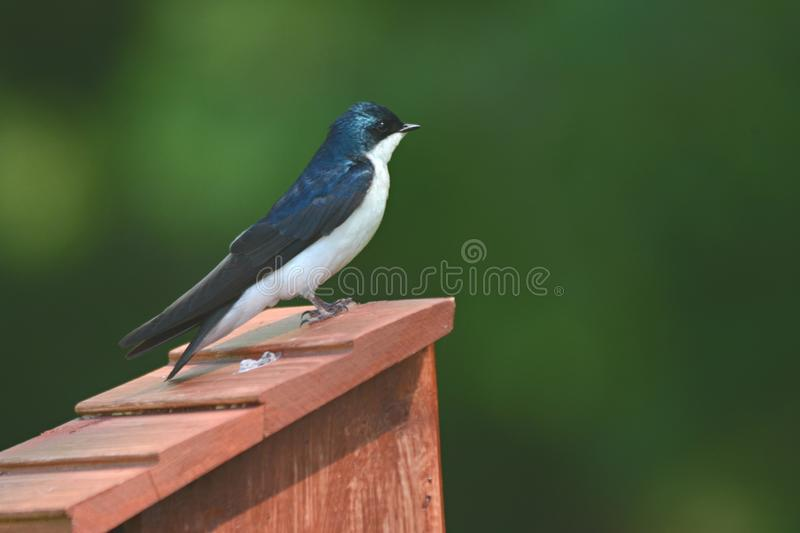 Tree Swallow Perching On Nest Box stock image