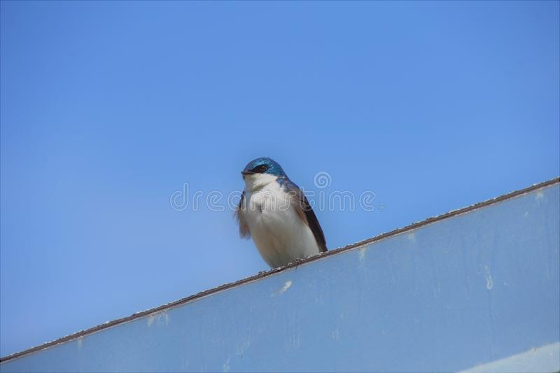 Tree swallow is perching on the roof. royalty free stock photography