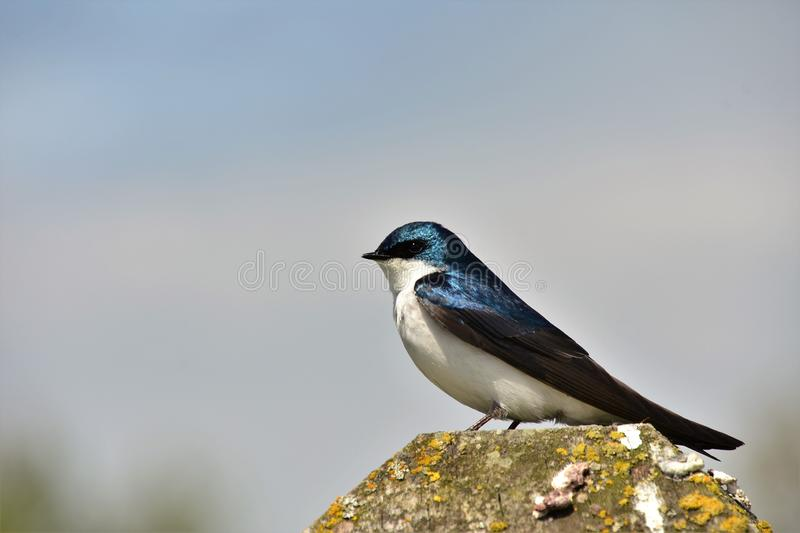 Tree swallow is perching on the stud. stock image