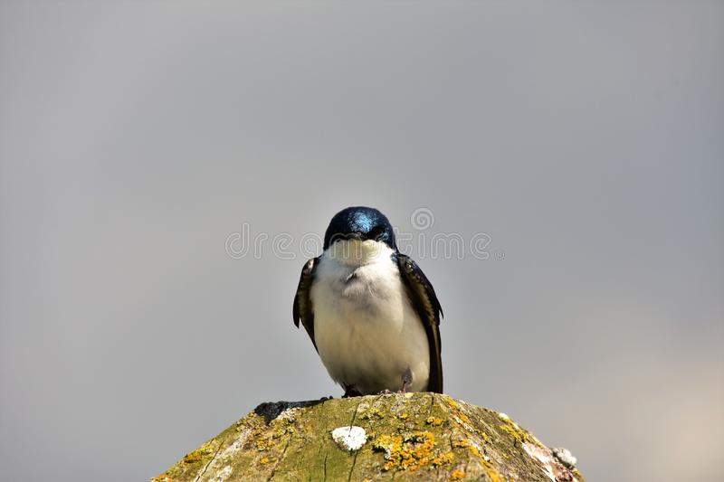 Tree swallow is perching on the stud. royalty free stock photo