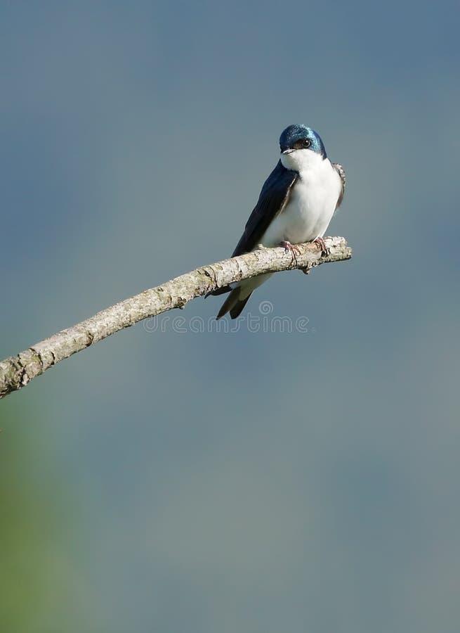 Tree Swallow - Tachycineta bicolor stock images