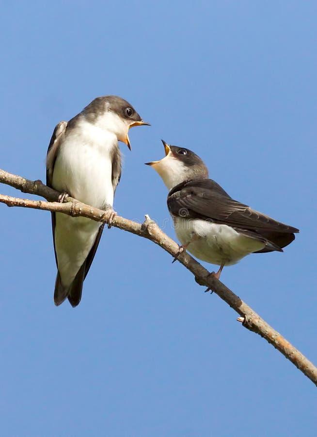 Tree Swallow - Tachycineta bicolor stock photo