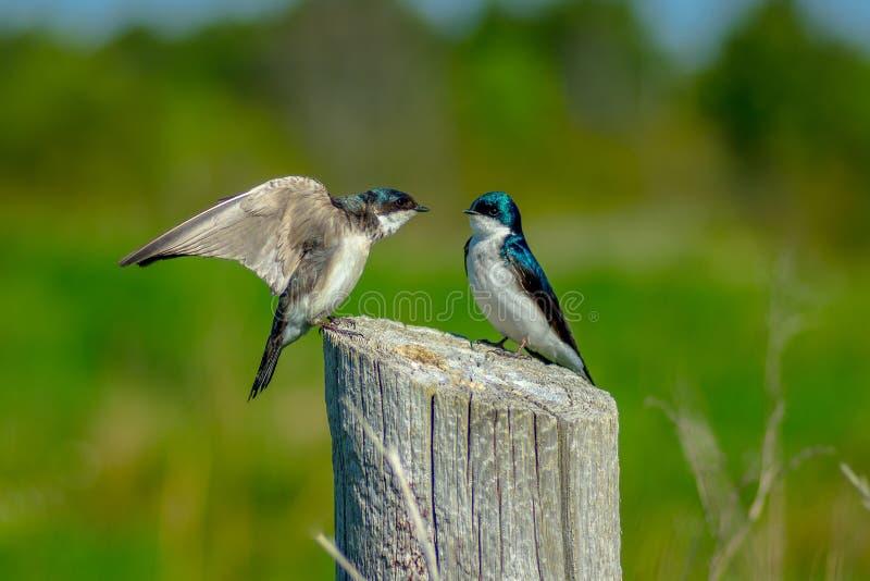 Tree Swallows royalty free stock image