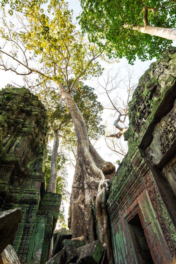 Tree at Ta Prohm, Cambodia stock image