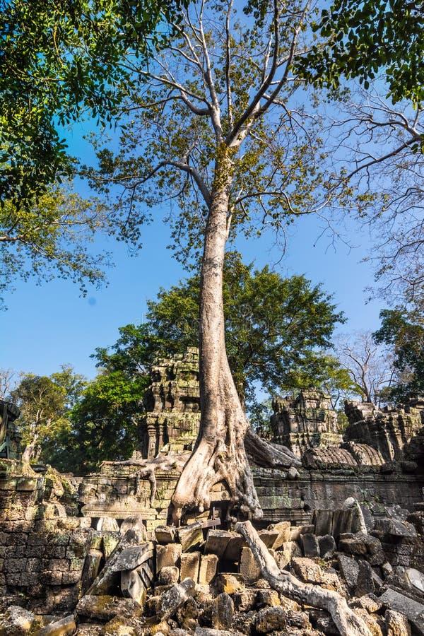 Tree at Ta Prohm, Cambodia stock photo