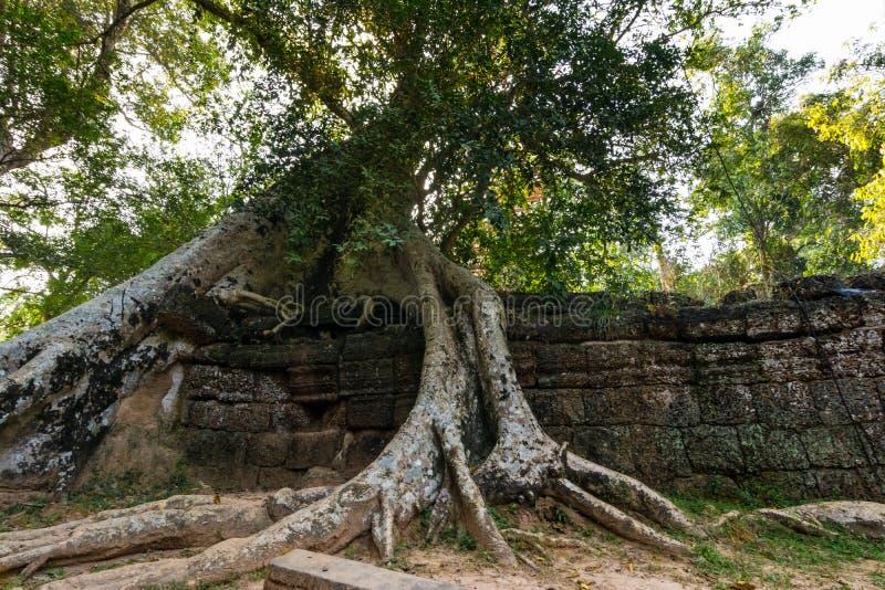 Tree at Ta Prohm, Cambodia stock photos
