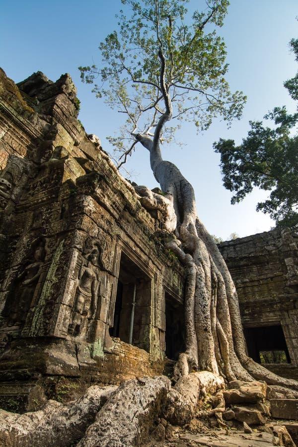 Tree at Ta Prohm, Cambodia royalty free stock images