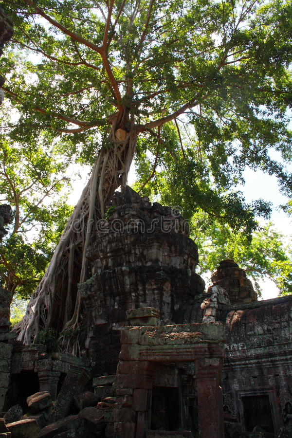 Tree at Ta Prohm royalty free stock photo