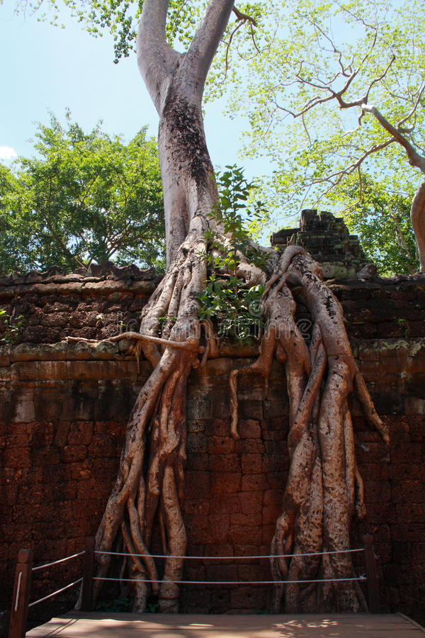 Tree at Ta Prohm stock image