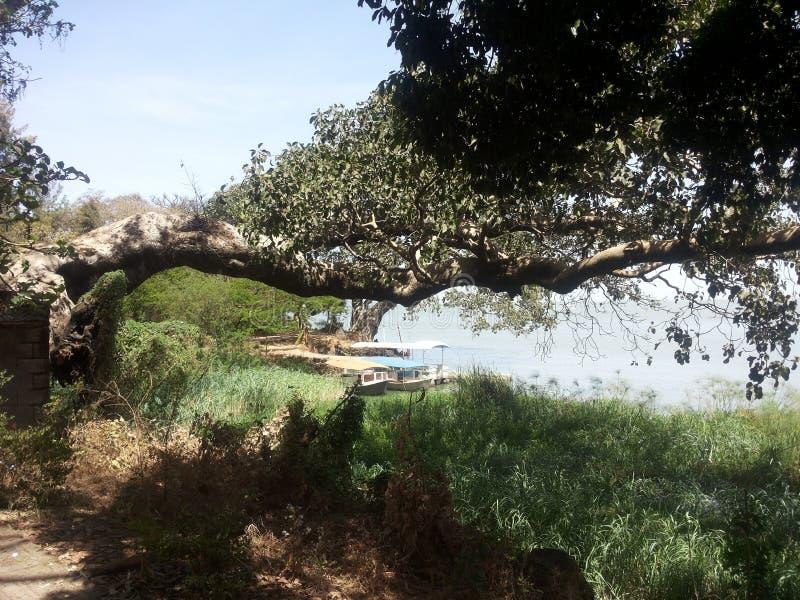 Tree of tana royalty free stock photos