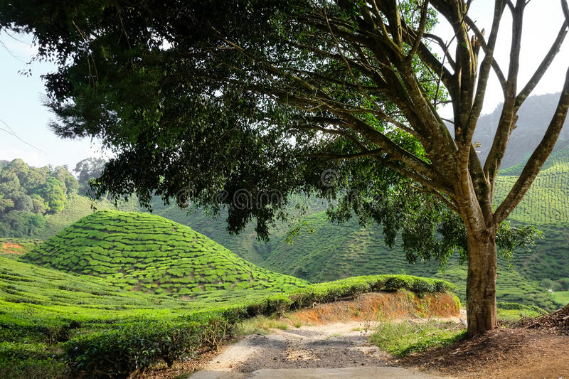 A tree and tea plantation on the mountain in the background - Ca royalty free stock photo