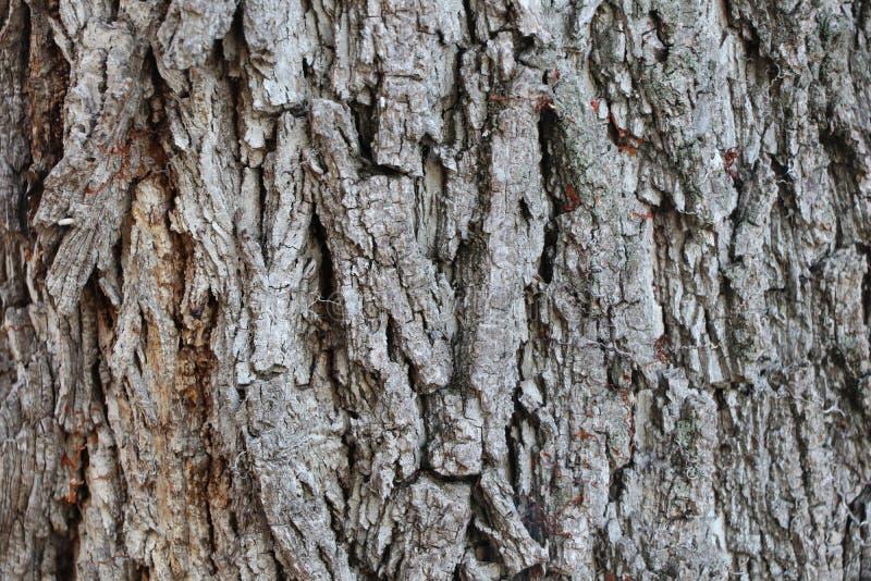 Tree texture of Juglans nigra or black walnut stock photo