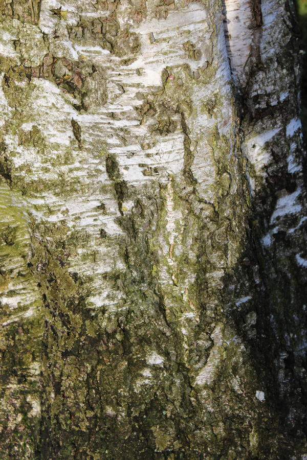 Tree Texture royalty free stock photography