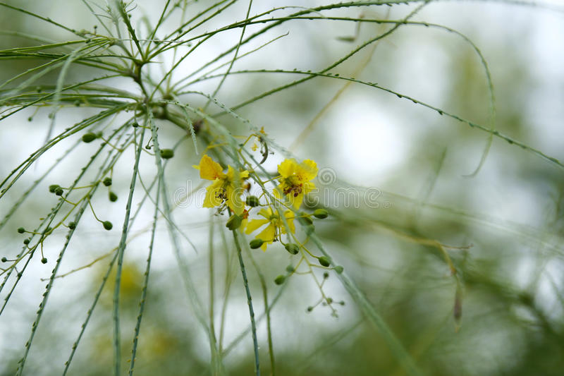 Download Tree With Thin Leaves And Yellow Blossoms Stock Photo - Image: 11198488