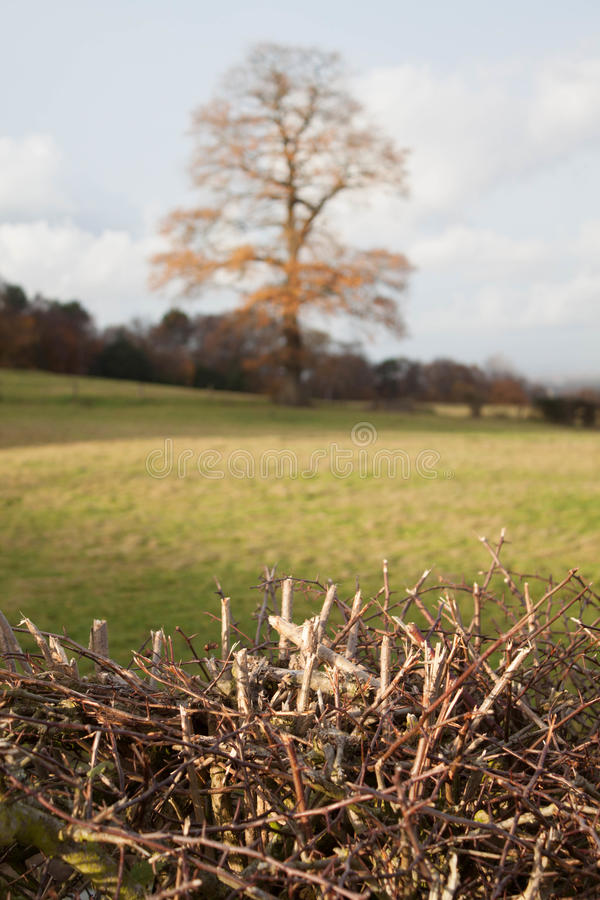 Tree and Thorns. Bare tree standing in a field in the background of a near-focused image. Bright sunlight illuminating sharp hedgerow of thorns in the foreground stock photo