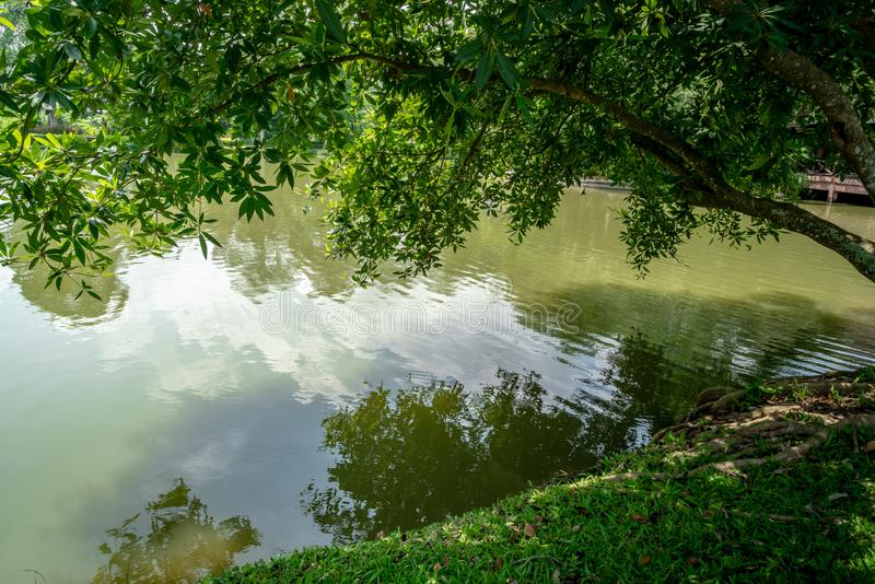 Tree tilted over green pond stock photos