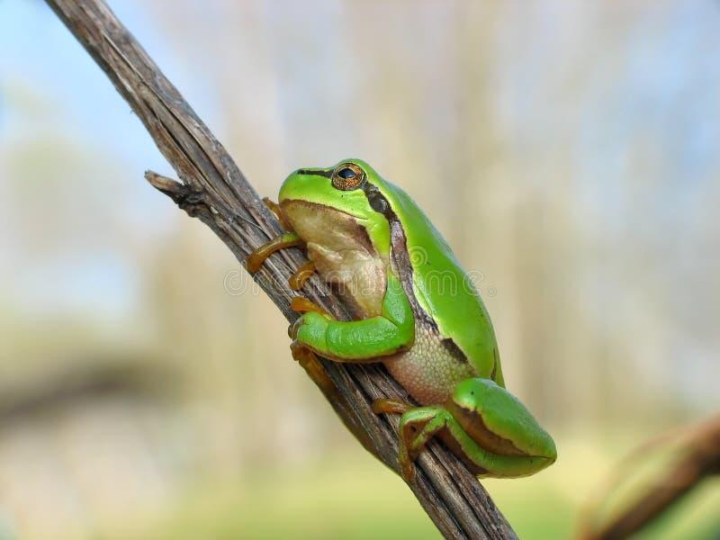 Download Tree toad stock image. Image of jump, closeup, macro, jumper - 2313875