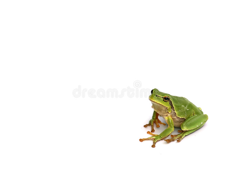 Tree toad frog. Green frog - tree toad isolated on the white background stock photo