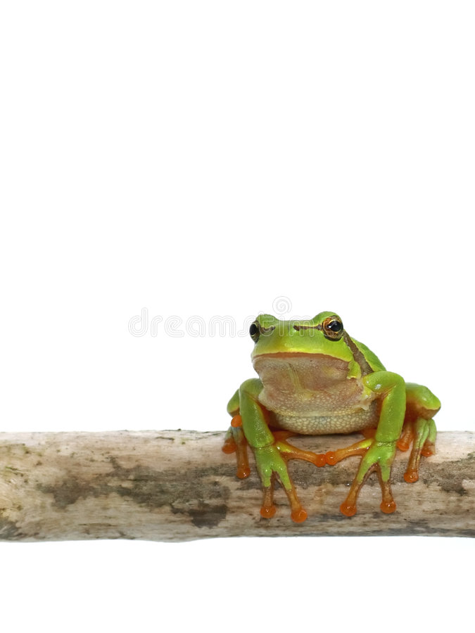 Tree toad frog. Green frog - tree toad sitting on the branch over white background stock photo