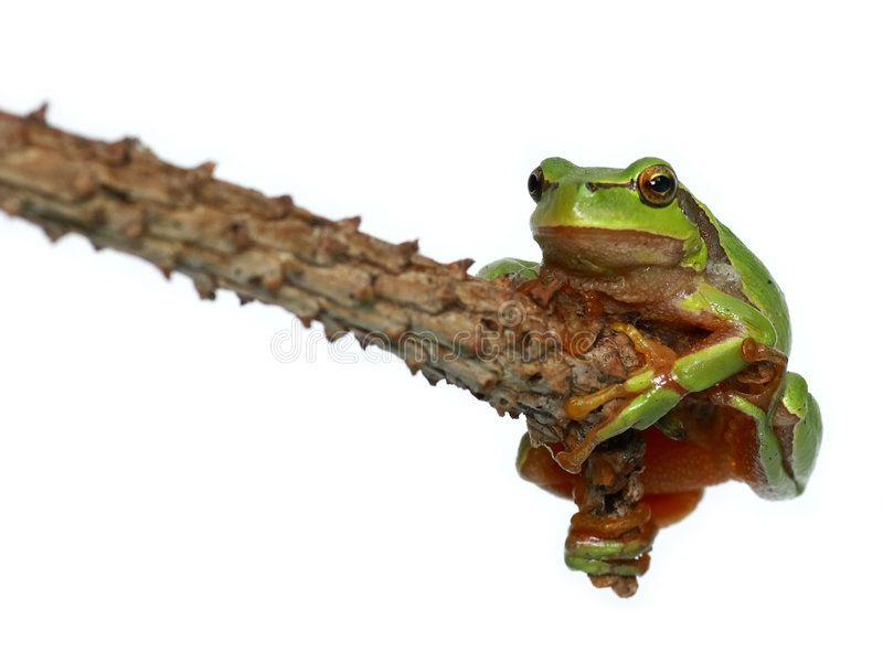 Tree toad frog. Green frog - tree toad sitting on the branch over white background royalty free stock photo