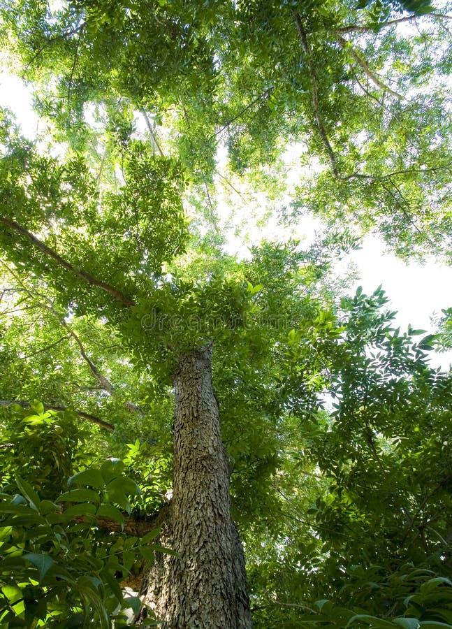Tree top. A tall pecan tree top stock photo