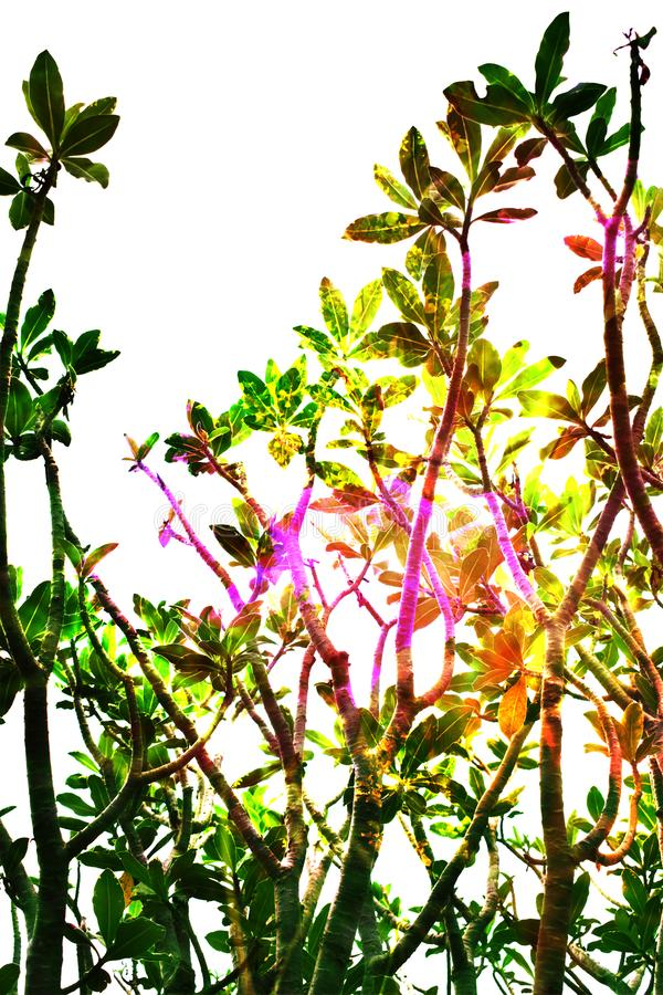 Frangipani tree top double exposure stock images