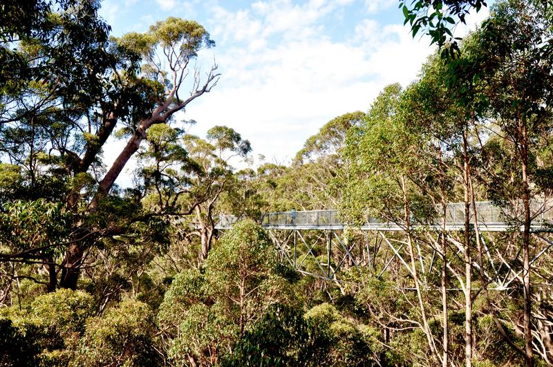 Download Tree Top Walk In The Forest Canopy Denmark Western Australia Editorial Photo - & Tree Top Walk In The Forest Canopy: Denmark Western Australia ...