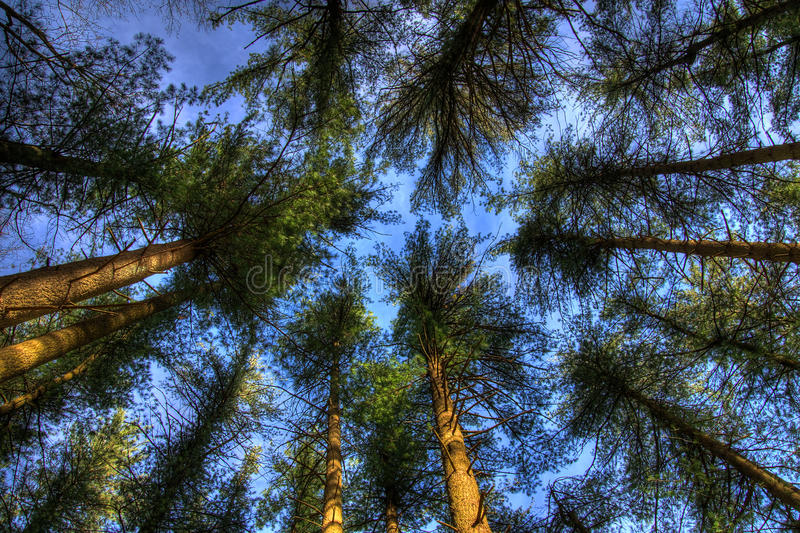 Tree Tops. Pine Tree tops viewed from below with blue sky background royalty free stock photos