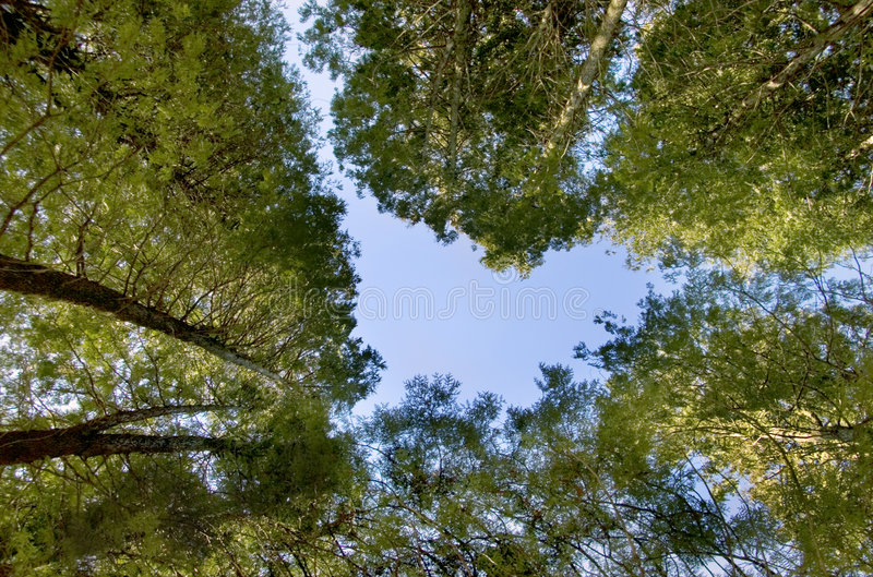 Download Tree Tops Royalty Free Stock Photos - Image: 5411038