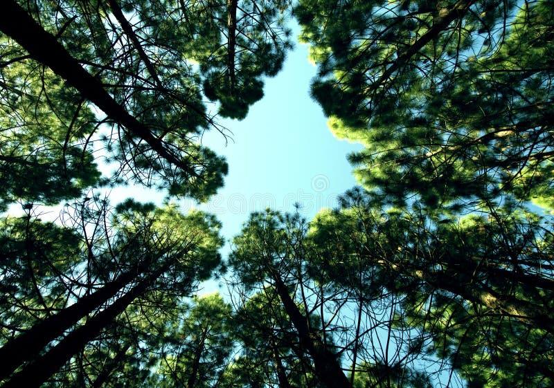 Tree tops against blue skies royalty free stock image