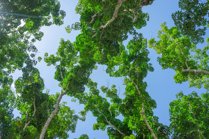 Tree tops with green leaves and blue sky. High tree tops with green leaves and blue sky stock image