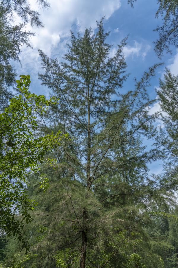 Tree tops in the Jungle. Singapore - july 15, 2018: Tree tops in the Jungle. Coney Island, alternatively known as Pulau Serangoon, is a 133-hectare island stock images