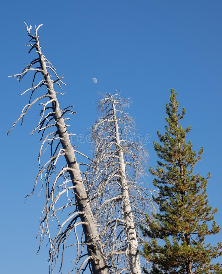 Tree tops and moon stock images
