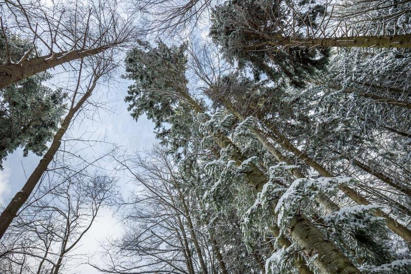 Tree tops seen from below. Snowy Tree tops seen from below, Poiana Brasov, Romania, Europe royalty free stock photos