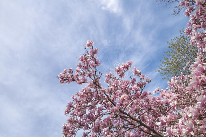 Tree tops and sky in the spring with pink flower tree blooms stock photography