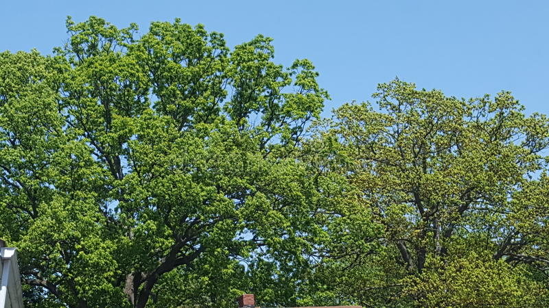 Tree tops. In the Summer stock photography