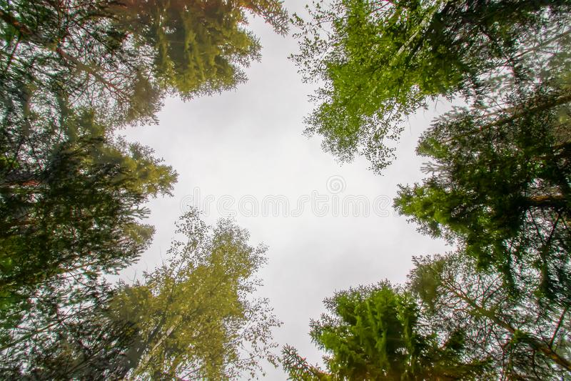 Tree tops in a forest. Tree tops in a summer forest royalty free stock image